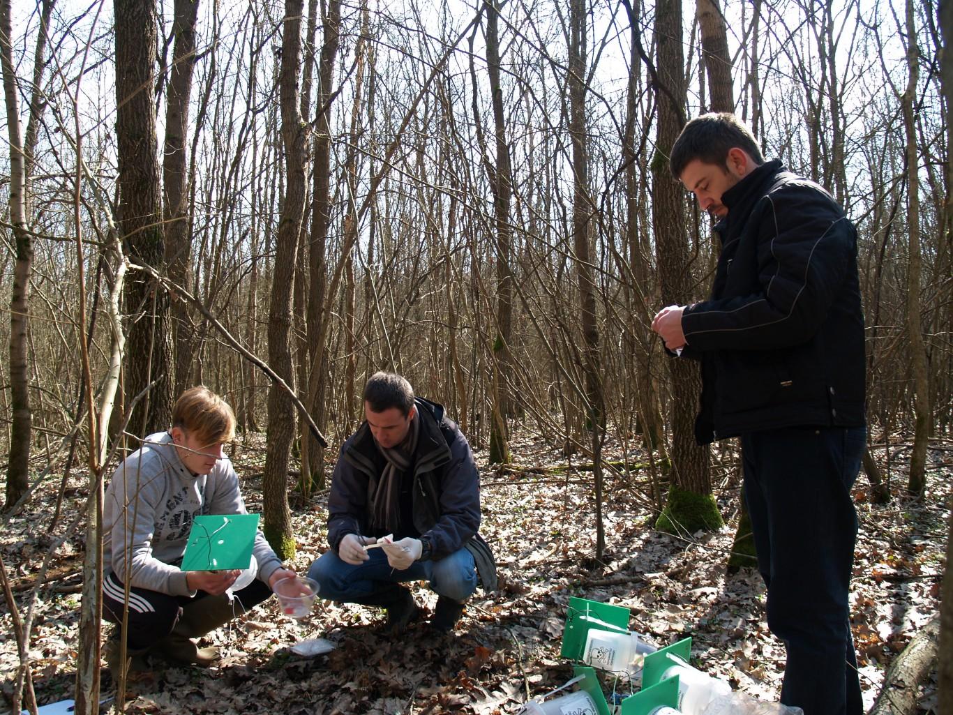 Feromoncsapdák kihelyezése a nagyberegi erdőben